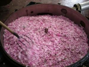 rosenbluten
